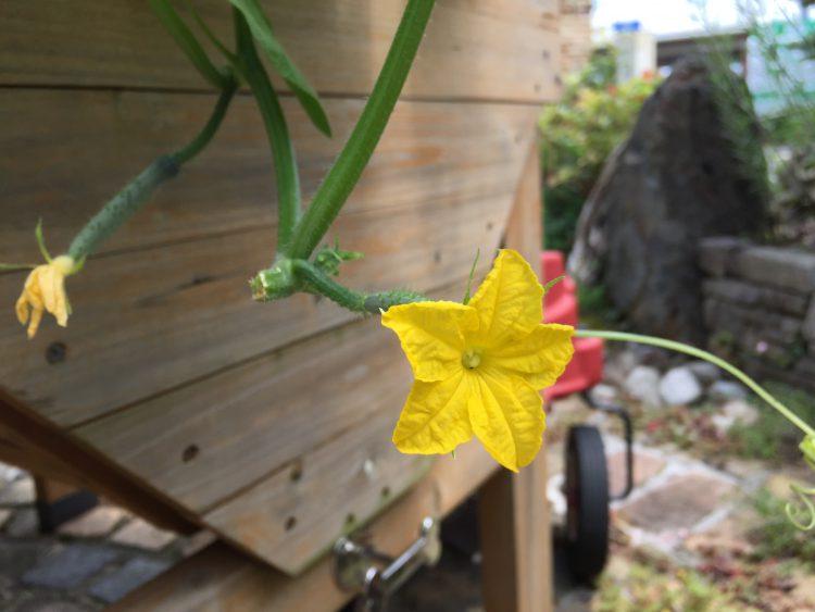 きゅうりの花がつきました